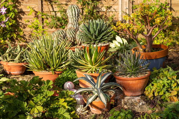 Aloes, Agaves, Crassula and Euphorbia at the back