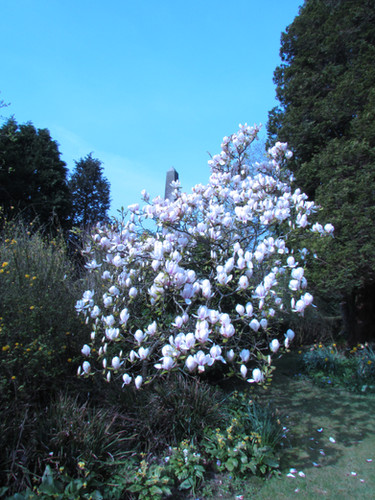 Our Magnolia, without frost burn