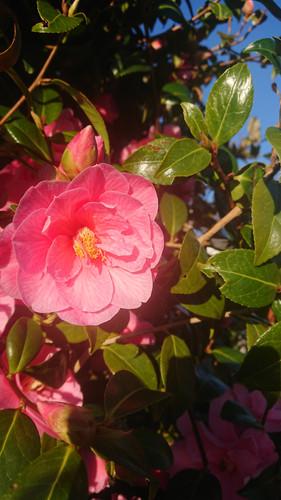 Japanese Camellia in the garden