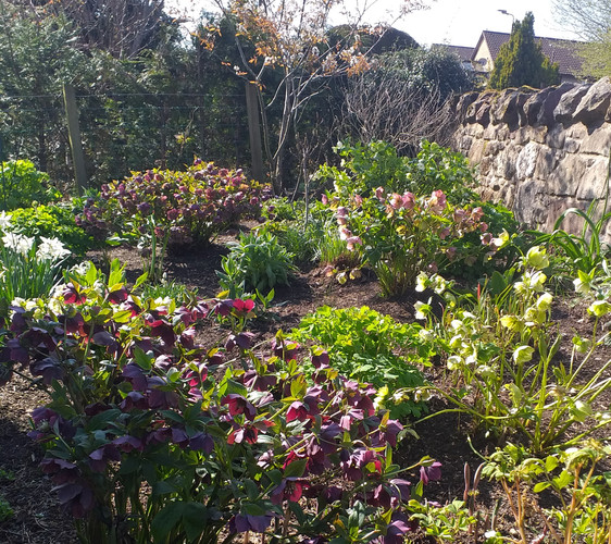 Helebores in the sunshine