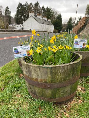 Village tubs of daffodills