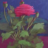 Solo Ranunculus