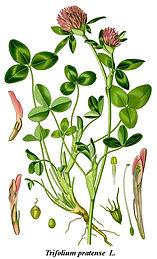 Cleaned-Illustration_Trifolium_pratense.