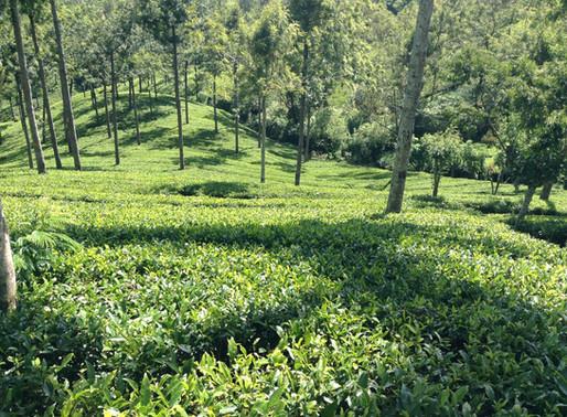 紅茶を巡る旅1−スリランカ A la recherche du thé noir
