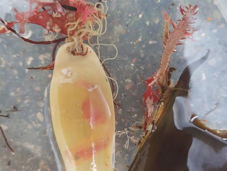 Catshark embryo found on Eastney Beach!