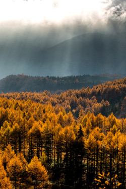 japanese-larch-trees--_30601917514_o