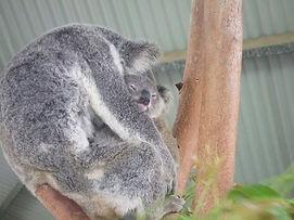 Koala do urso do bebê