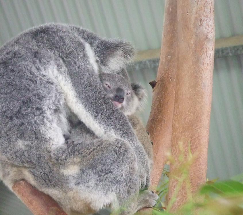 Koala-Bärn-Baby
