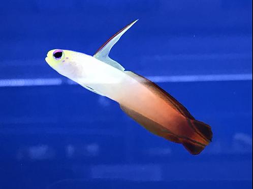 Red Firefish (Nemateleotris Magnifica)
