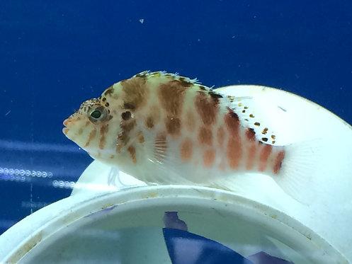 Red Spotted Hawkfish (Amblycirrhites pinos)