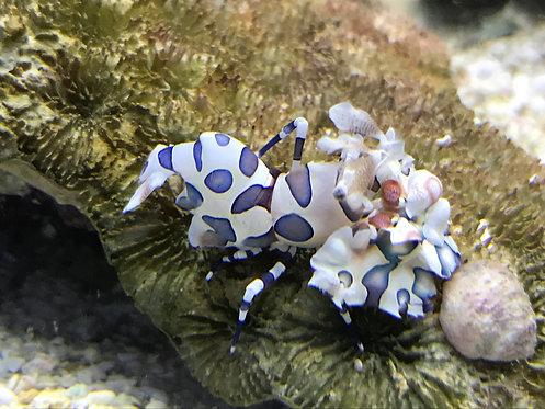 Harlequin Shrimp (Hymenocera elegans)