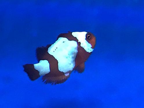 Maroon Snowflake Captive-Bred Designer Clownfish (Premnas Biaculeatus)