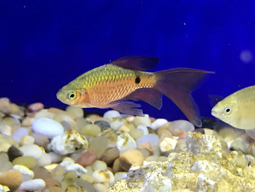 LongFin Rosy Barb