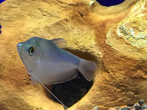 Moonlight Gourami (Trichogaster Microlepis)
