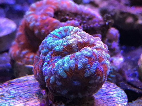Acan Lord
