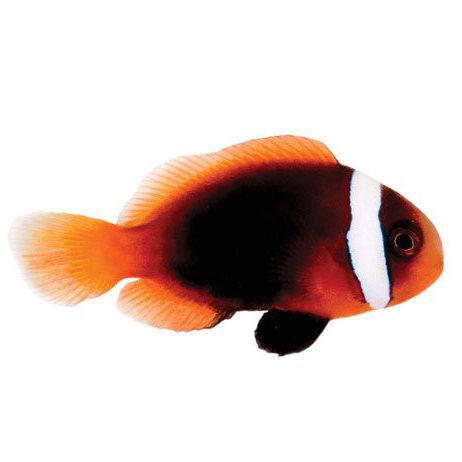 Cinnamon Captive-Bred Clownfish (Amphiprion Melanopus)