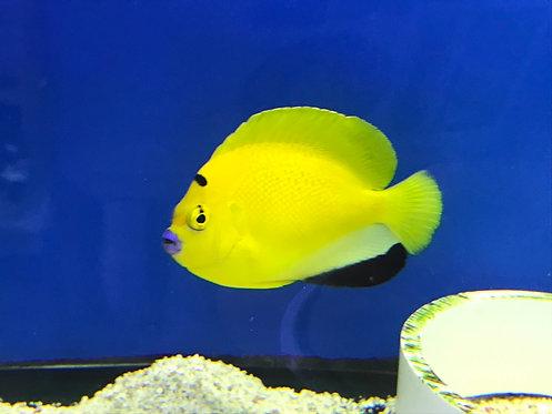 Flagfin Angelfish (Apolemichthys Trimaculatus)