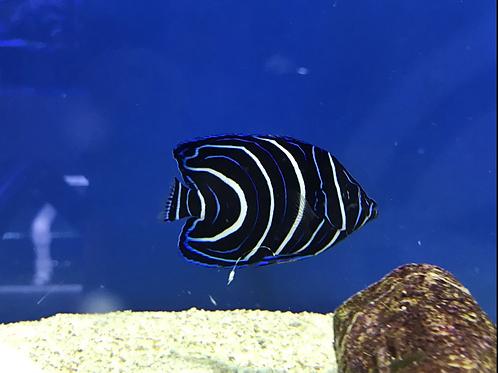 Koran Angelfish (Pomacanthus semicirculatus)