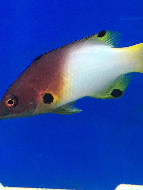 Coral Hogfish (Bodianus Mesothorax)