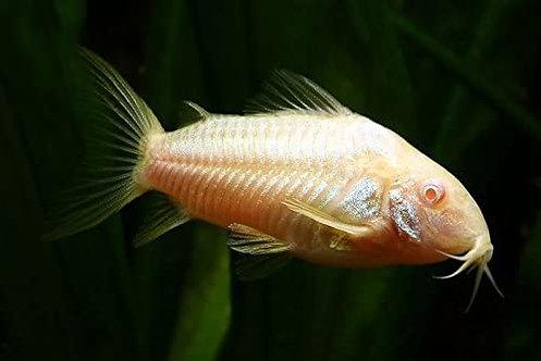 Albino Aeneus Cory Catfish (Corydoras Aeneus)