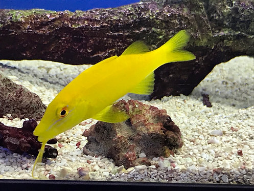 Yellow Goatfish (Parupeneus Cyclostomus)