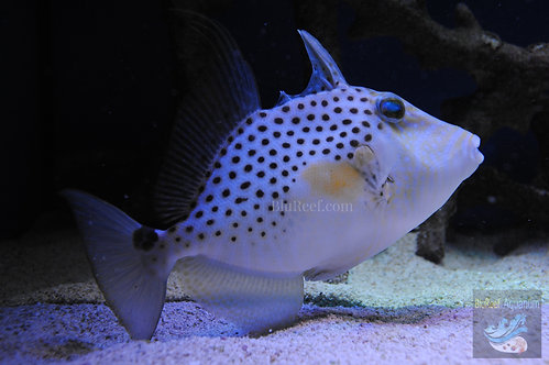 Golden Heart Triggerfish (Balistes punctatus)
