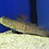 Thumbnail: Blue Spotted Watchman Goby (Cryptocentrus pavoninoides)