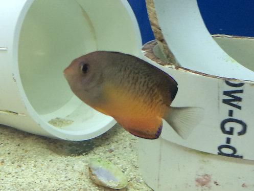 Rusty Angelfish (Centropyge ferrugata)