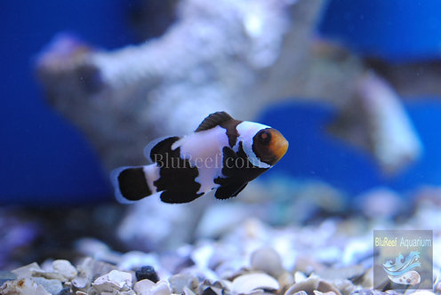 Blacker Ice Designer Clownfish (Amphriprion ocellaris)