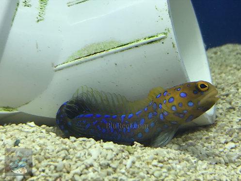 Blue Dot Jawfish (Opistognathus Rosenblatti)