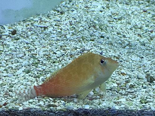 Golden Hawkfish (Cirrhitichthys Aureus)