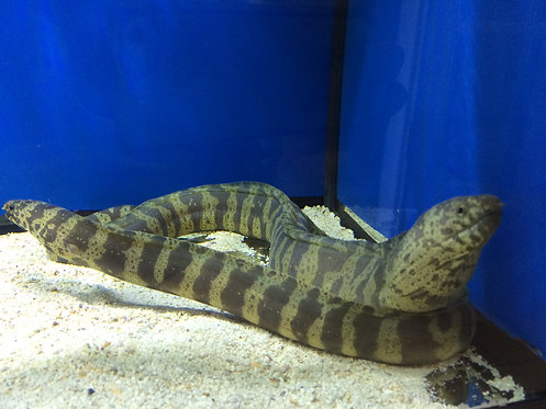 Chain Eel  (Echidna catenata)