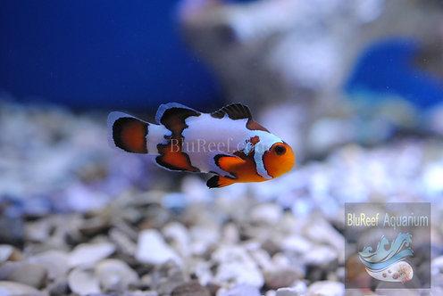 Premium Snowflake Ocellaris Designer Clownfish (Amphiprion Ocellaris )