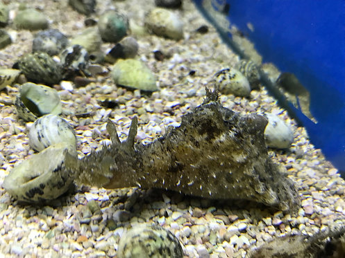 Sea Hare (Aplysia species)