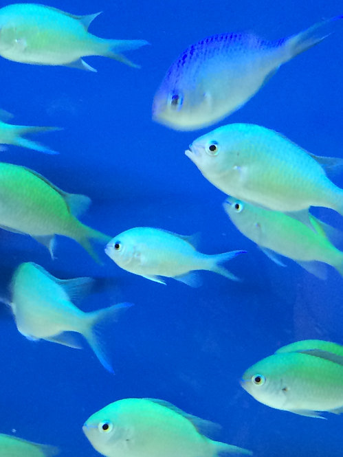 Blue Green Chromis Damselfish (Chromis Viridis)