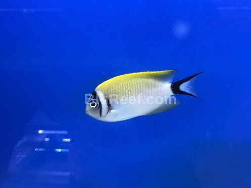 Masked Swallow Tail Angelfish (Genicanthus semifasciatus)