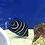 Thumbnail: Koran Angelfish (Pomacanthus semicirculatus)