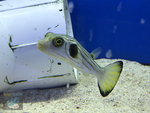 Narrow Lined Puffer (Arothron manilensis)