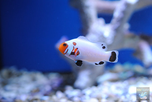 Wyoming White Captive-Bred Designer Clownfish (Amphriprion ocellaris)