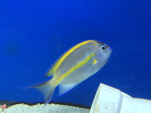 Bellus Angelfish Male (Genicanthus bellus)