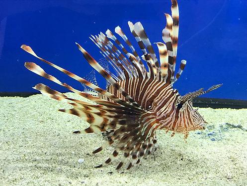 Black/Red Volitan Lionfish (Pterois Volitans)