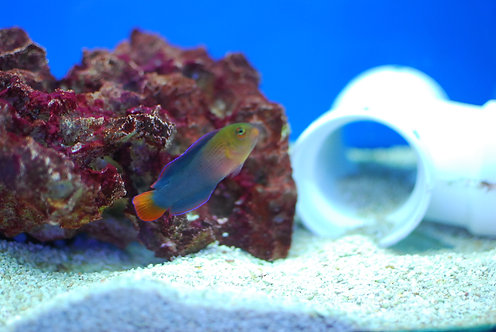 Sri Lanka Dottyback (Pseudochromis Dilectus)