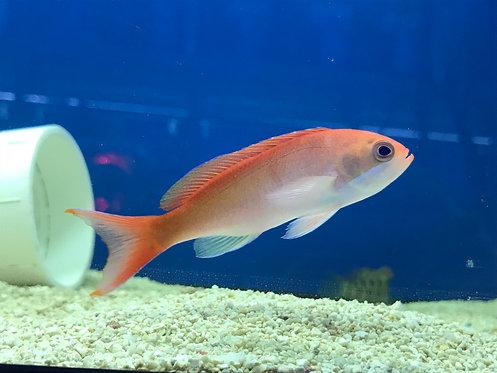Red Fairy Anthias (Pseudanthias kashiwae)