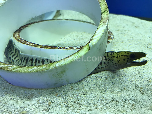 Yellow Head Eel (Gymnothorax fimbriatus)