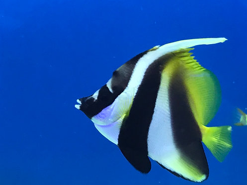 Masked Bannerfish (Heniochus Monoceros)