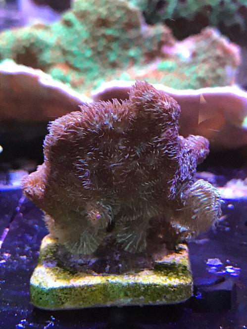 Merulina Coral (Lettuce Coral)