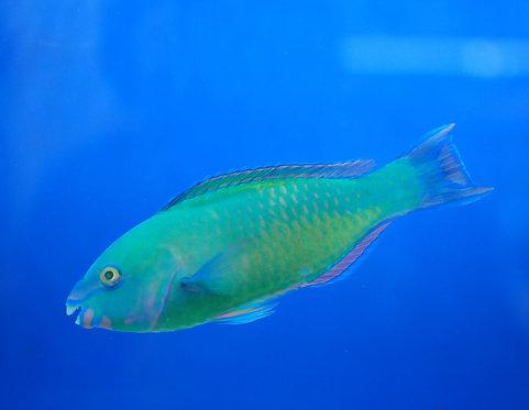 Princess Parrotfish (Scarus taeniopterus)