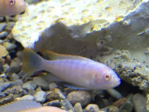 "Albino Ice Blue 2"" Peacock Cichlid"