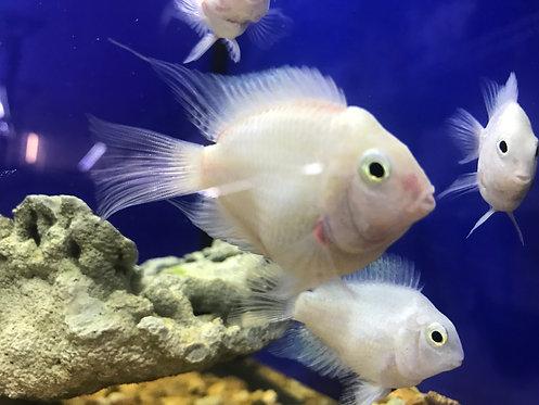 Platinum Parrot Cichlid