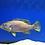 Thumbnail: Pollenei Grouper (Cephalopholis polleni)